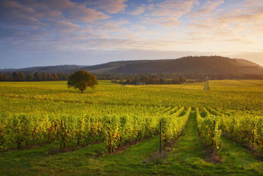 First light over Denbies Vineyard - Denbies Wine Estate